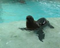 Posvoji morskog lava