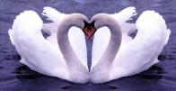 Posvoji par zaljubljenih labudova