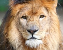 Posvoji lava