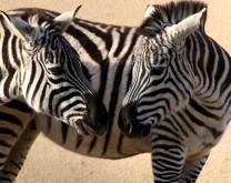 Posvoji par zaljubljenih zebri