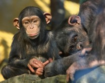 Posvoji čimpanzu