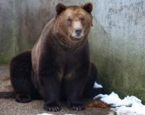 Posvoji smeđeg medvjeda